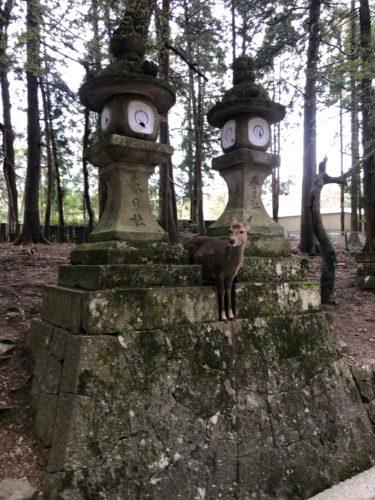 春日大社の鹿かわゆす